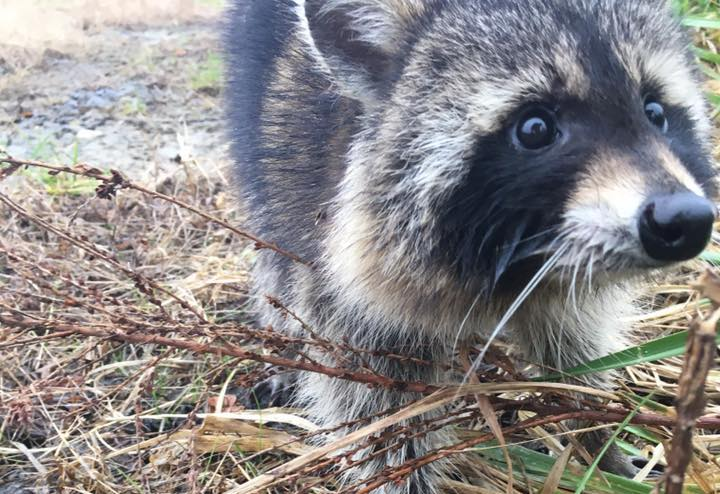 West Virginia police 'apprehend' raccoon 'drunk' on fermented crab apples